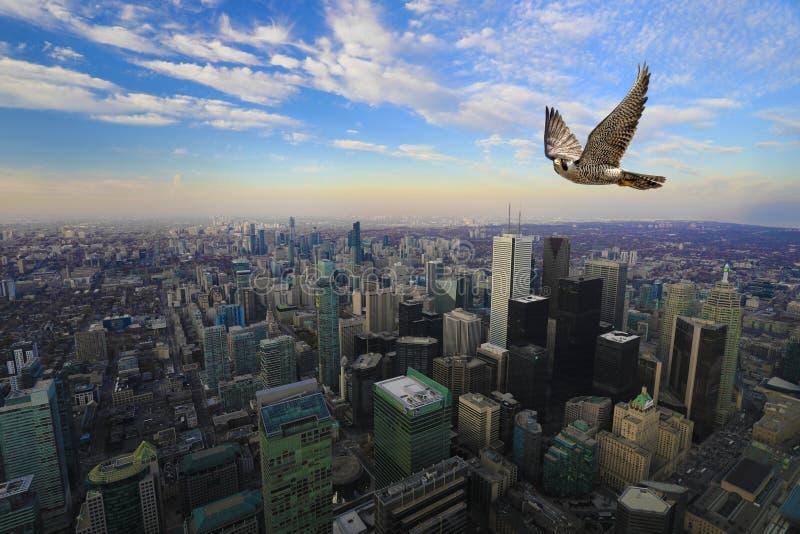 Peregrine Falcon i flykten högt över det Toronto centret royaltyfria bilder
