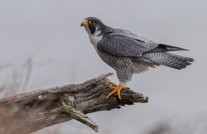 Peregrine Falcon i nytt - ärmlös tröja royaltyfri fotografi