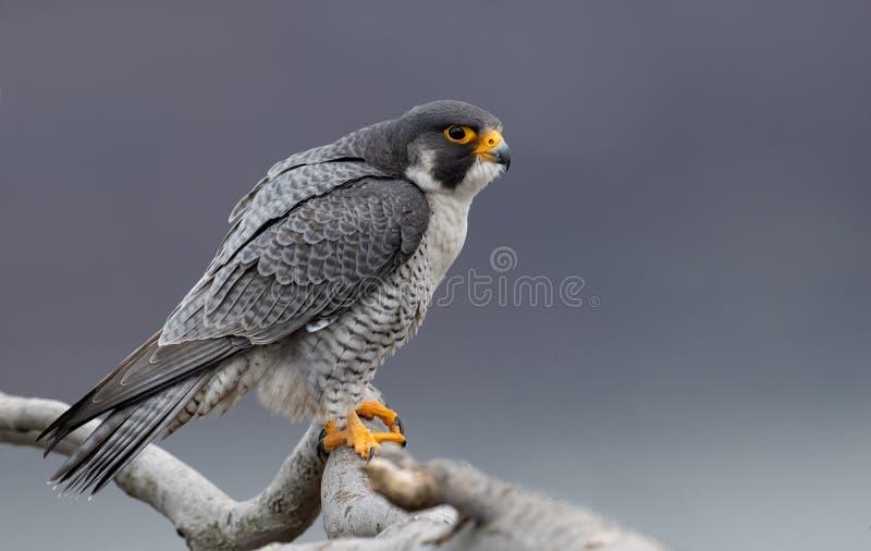 Peregrine Falcon i nytt - ärmlös tröja royaltyfria foton