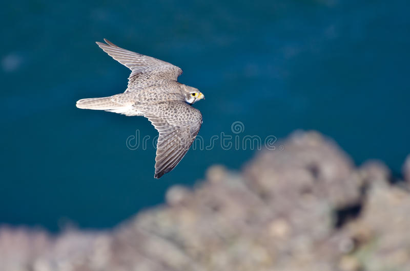 Peregrine Falcon im Flug über dem Fluss stockfotografie