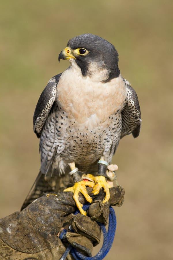 Peregrine Falcon in jesses stock image