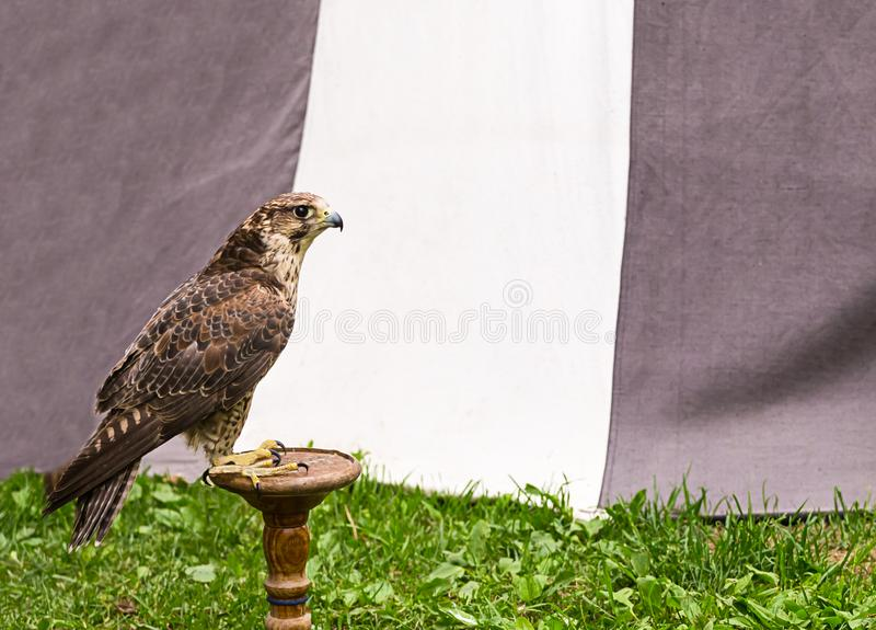 Peregrine falcon, large predatory bird on a wooden stand, fast hunter, rest before hunting royalty free stock photos