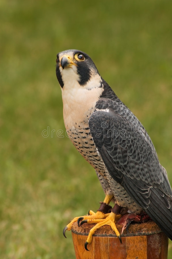 Peregrine Falcon Looks Way Up. Peregrine Falcon (Falco peregrinus) sits on lunch (quail) and looks up from perch - captive bird royalty free stock photography