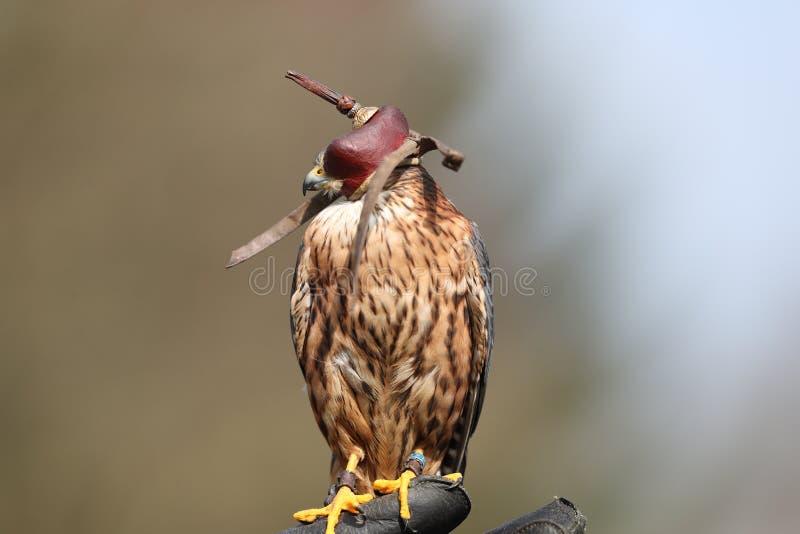 Peregrine Falcon mit Haube lizenzfreie stockfotografie