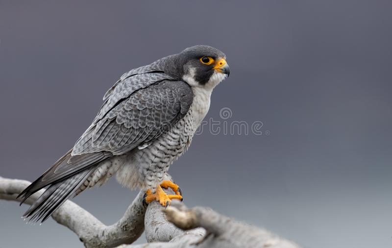 Peregrine Falcon in New-Jersey lizenzfreie stockfotos