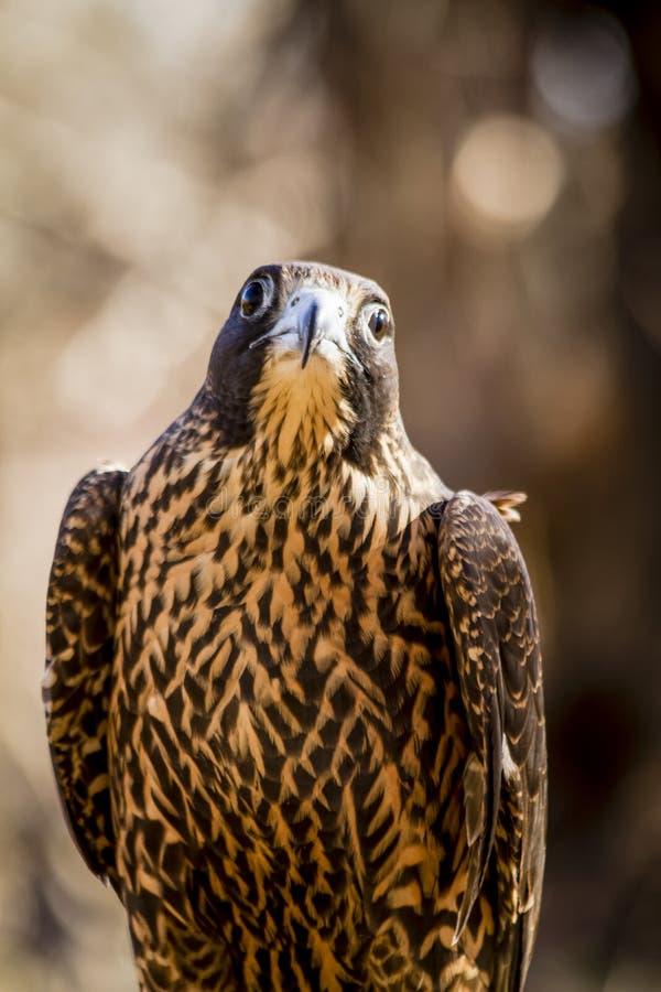 Peregrine Falcon non mûre s'asseyant sur le tronçon d'arbre photographie stock