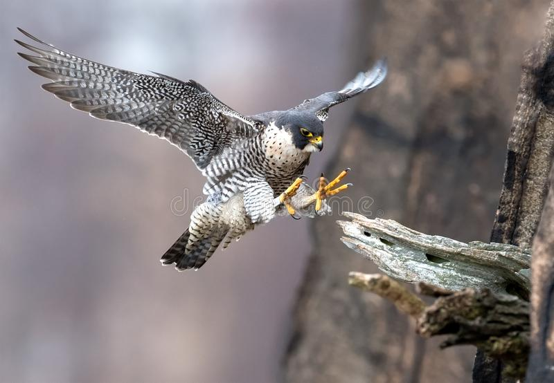 Peregrine Falcon in New Jersey stock image