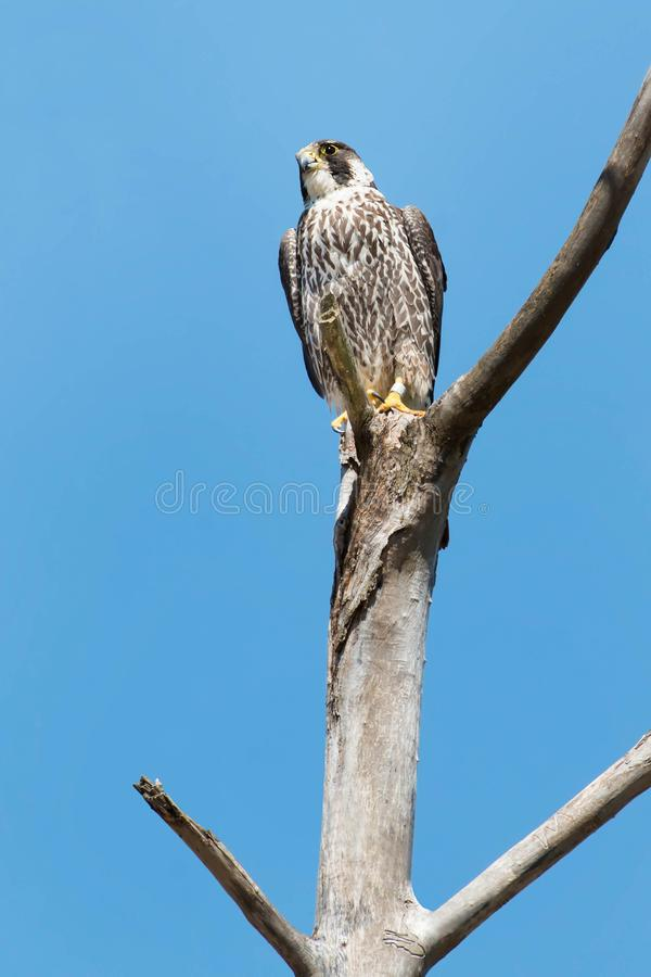Download Peregrine Falcon stock image. Image of nature, living - 109575233