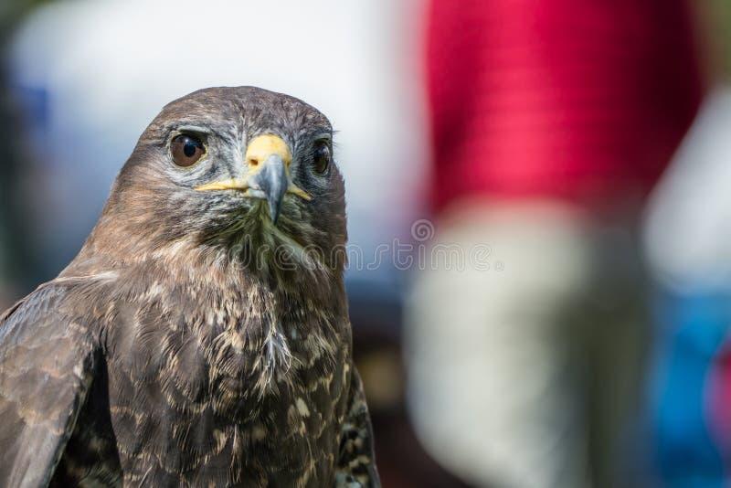 Peregrine Falcon, peregrinus de Falco, se reposant photos stock