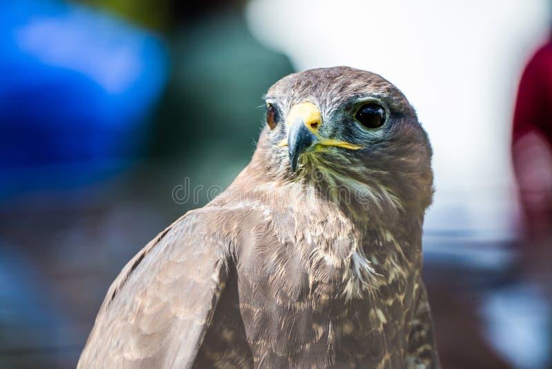 Peregrine Falcon, peregrinus de Falco, se reposant image stock