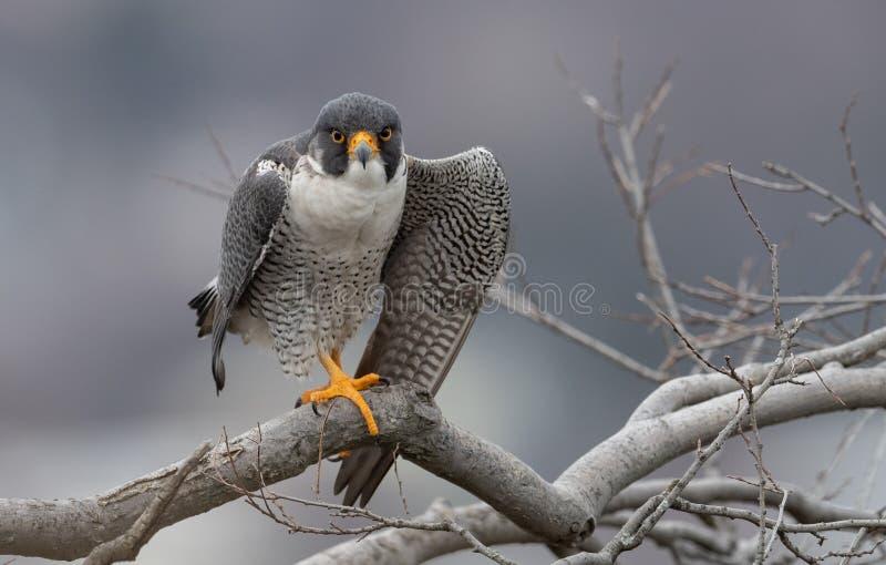 Peregrine Falcon Portrait fotografia de stock