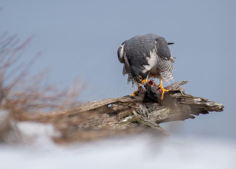 Peregrine Falcon Portrait arkivfoto