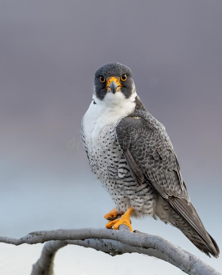 Peregrine Falcon Portrait imagens de stock