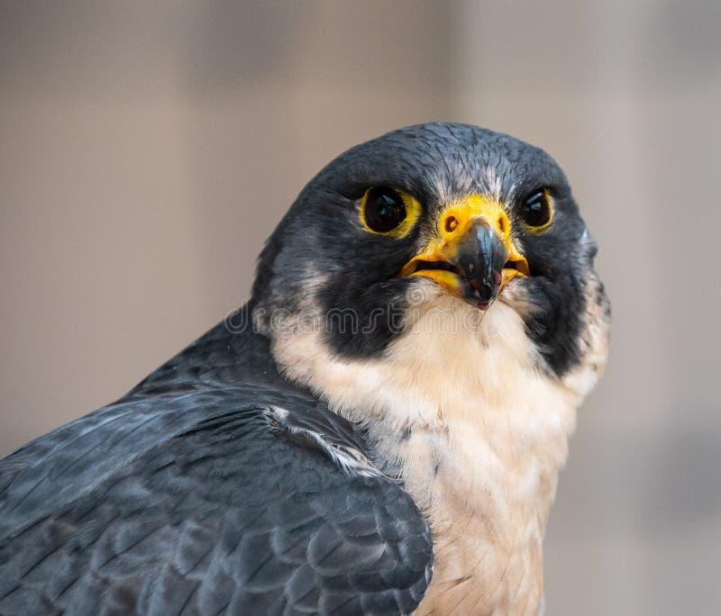 Peregrine Falcon Portrait images stock
