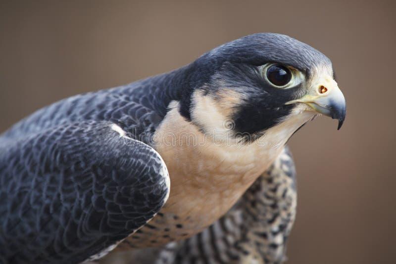 Peregrine Falcon Portrait royaltyfri fotografi