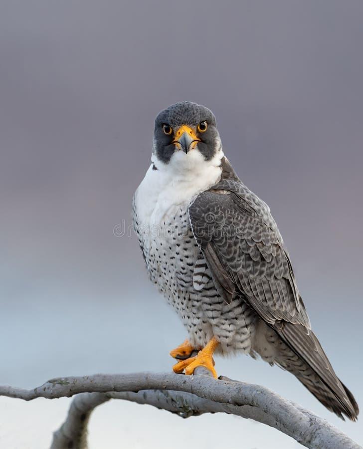 Peregrine Falcon Portrait. Peregrine Falcon in New Jersey stock images