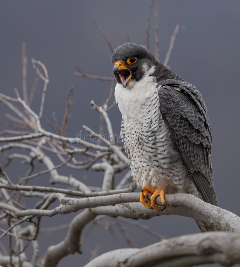 Peregrine Falcon Portrait royalty-vrije stock afbeeldingen