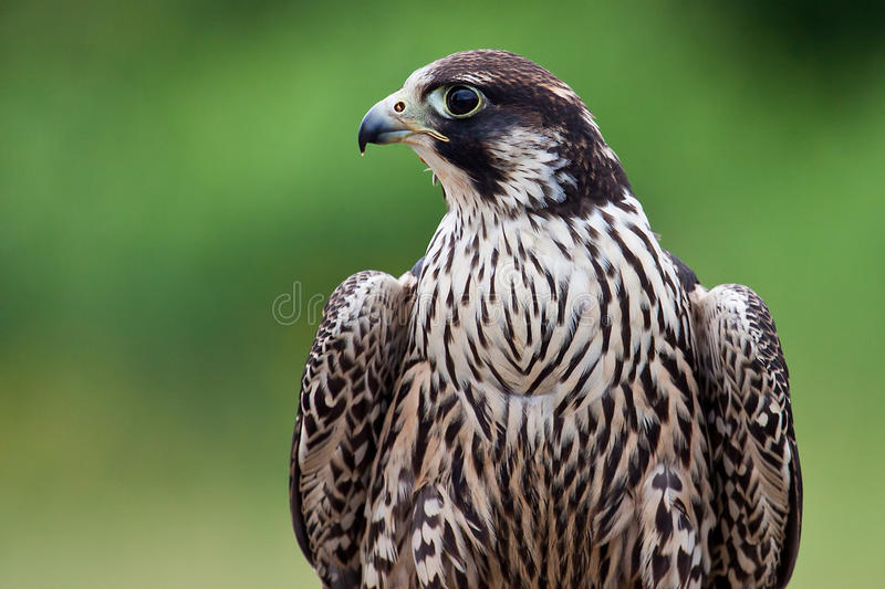 Peregrine Falcon Profile immagine stock libera da diritti