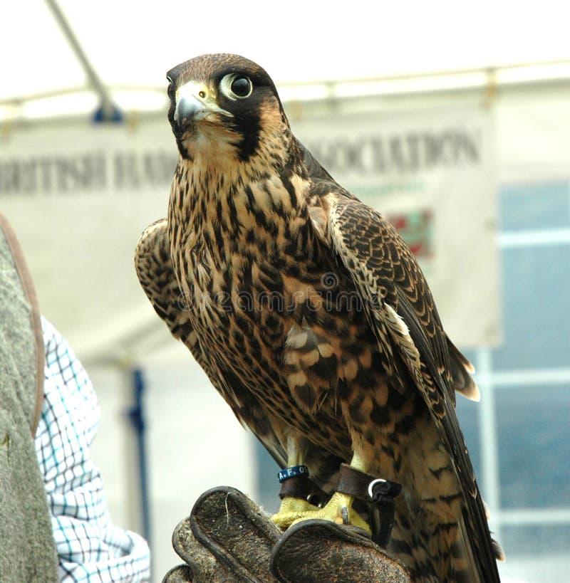 Peregrine Falcon que descansa sobre guante de los controladores imagen de archivo libre de regalías