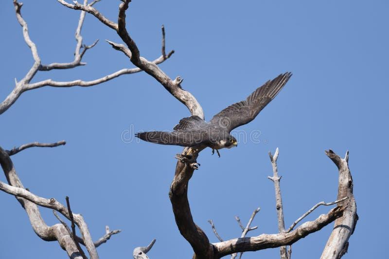 Peregrine Falcon que voa fora de uma árvore imagens de stock royalty free