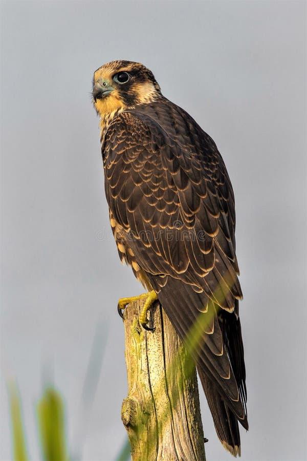 Peregrine Falcon rápida y furiosa imagen de archivo libre de regalías