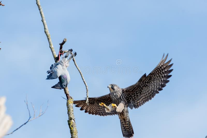 A Peregrine falcon returning to its prey. stock images