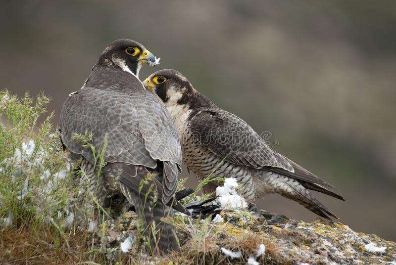 Peregrine falcon on the rock, Couple sharing their prey, a Dove, Falco peregrinus. Peregrine falcon on the rock. Bird of prey, Couple sharing their prey, a Dove royalty free stock photos