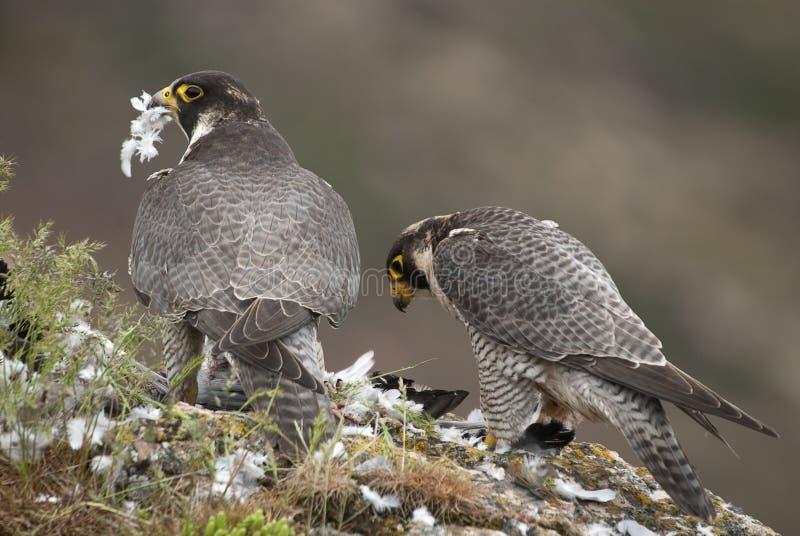 Peregrine falcon on the rock. Bird of prey, Couple sharing their prey, Falco peregrinus. Peregrine falcon on the rock. Bird of prey, Couple sharing their prey, a stock photo