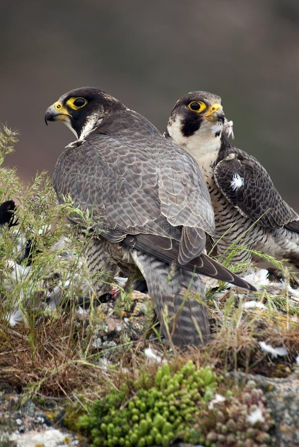 Peregrine falcon on the rock. Bird of prey, Couple , a Dove, Falco peregrinus. Peregrine falcon on the rock. Bird of prey, Couple sharing their prey, a Dove royalty free stock photo
