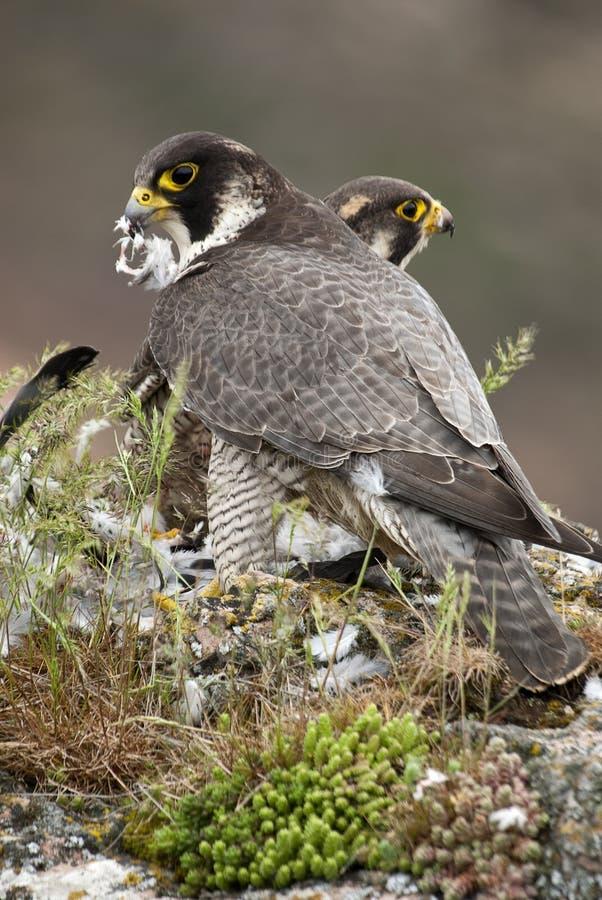 Peregrine falcon on the rock. Bird of prey, Couple sharing their prey, Falco peregrinus. Peregrine falcon on the rock. Bird of prey, Couple sharing their prey, a royalty free stock photos