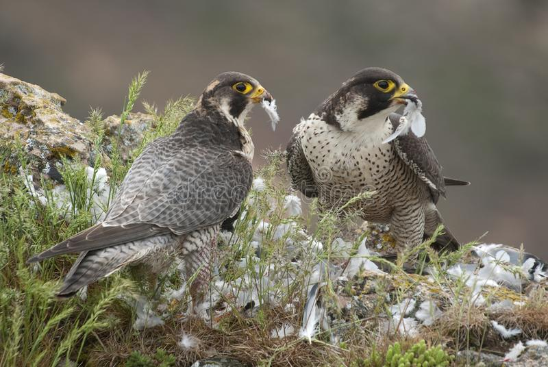 Peregrine falcon on the rock, Couple sharing their prey, a Dove, Falco peregrinus. Peregrine falcon on the rock. Bird of prey, Couple sharing their prey, a Dove stock images