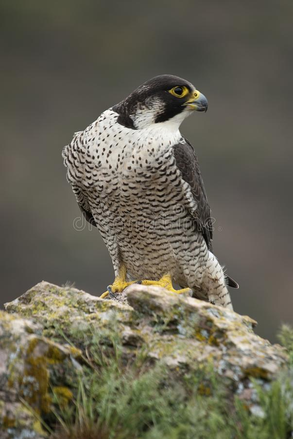Peregrine falcon on the rock. Bird of prey, Falco peregrinus stock photography