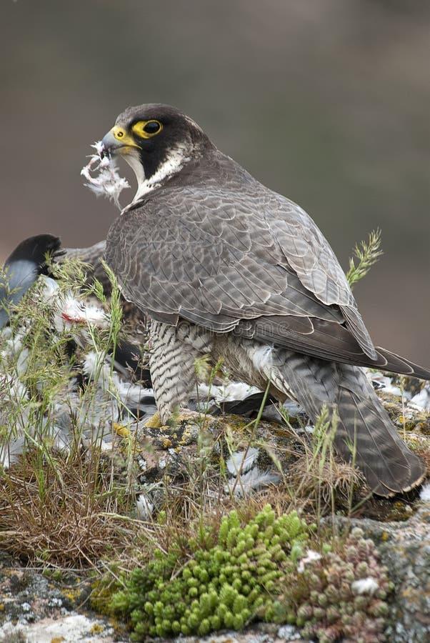 Peregrine falcon. Bird of prey, female portrait, Falco peregrinus. Peregrine falcon on the rock. Bird of prey, female portrait, Falco peregrinus royalty free stock photo