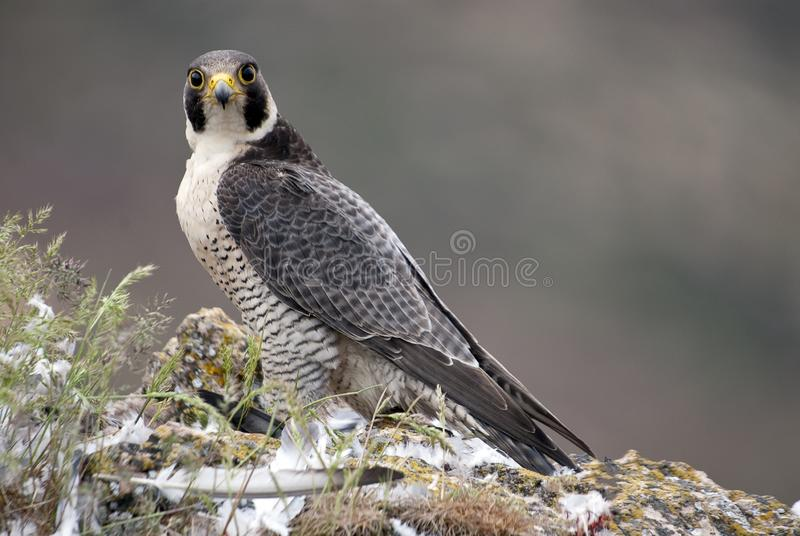 Peregrine falcon on the rock. female portrait, Falco peregrinus royalty free stock image