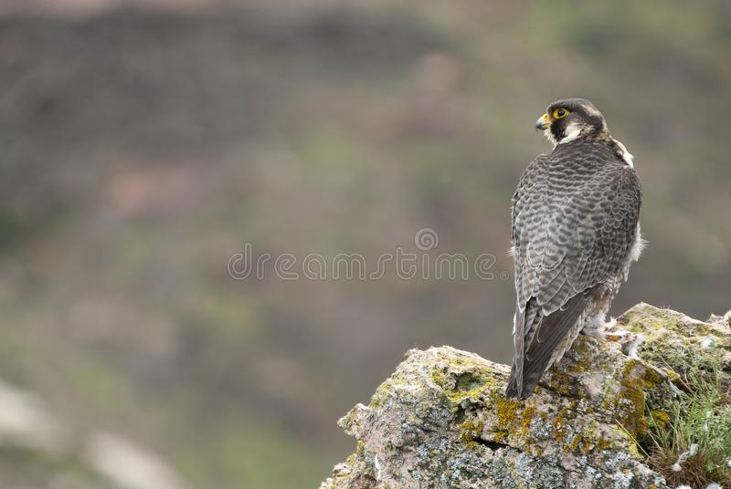 Peregrine falcon on the rock. Male portrait, Falco peregrinus royalty free stock photos