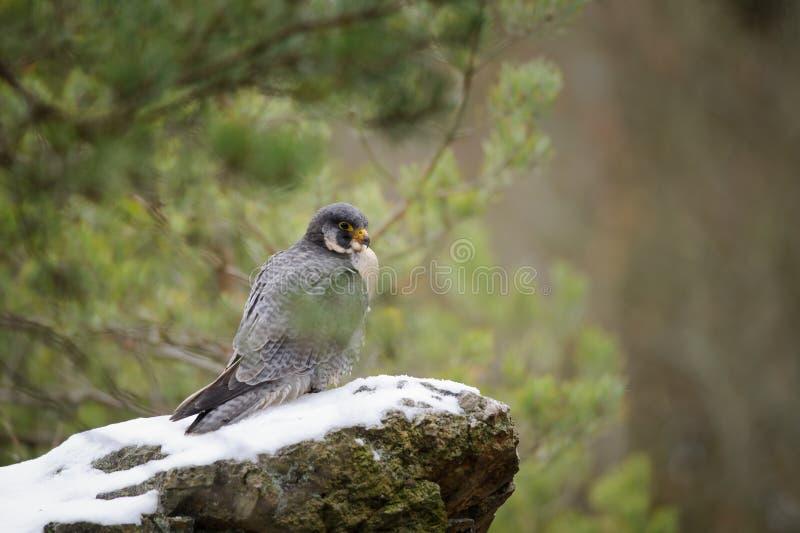 Peregrine Falcon s'asseyant sur la roche photos stock