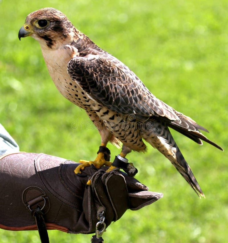 Peregrine Falcon se encaramó en halconero del guante protector durante una d fotografía de archivo