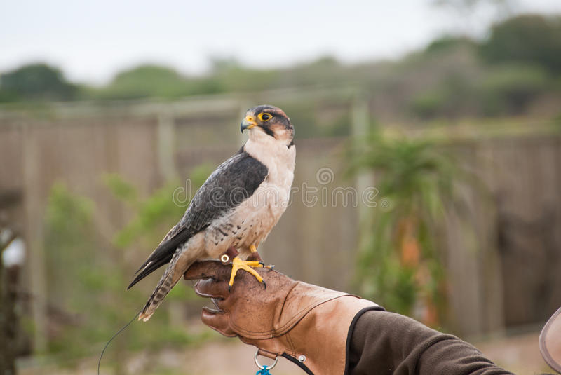 Peregrine Falcon. Sitting on a hand of a falconer royalty free stock photo