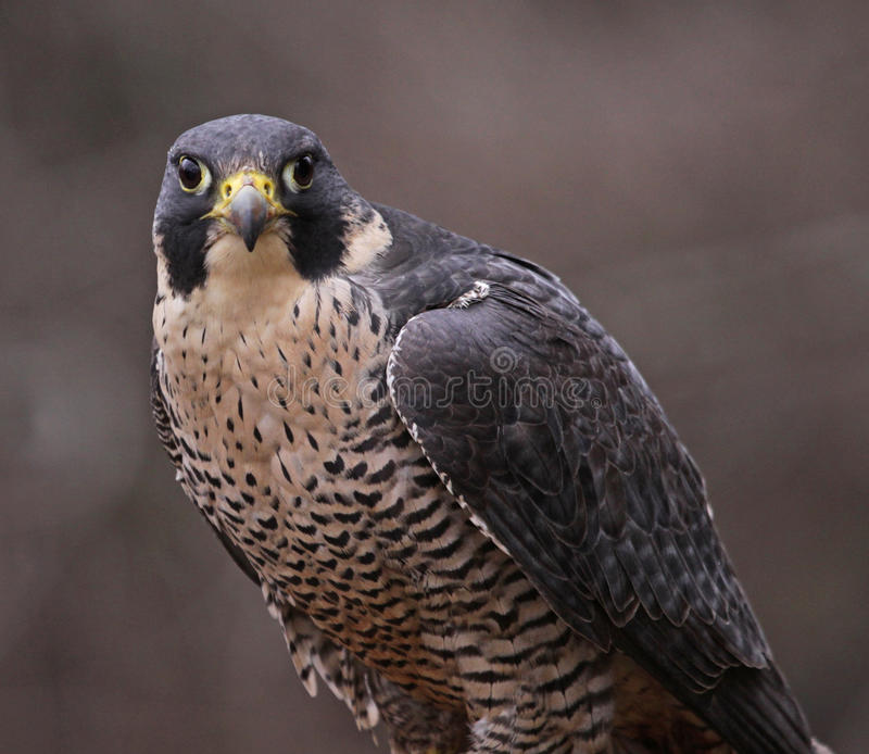 Download Peregrine Falcon Stare stock image. Image of peregrinus - 31509379