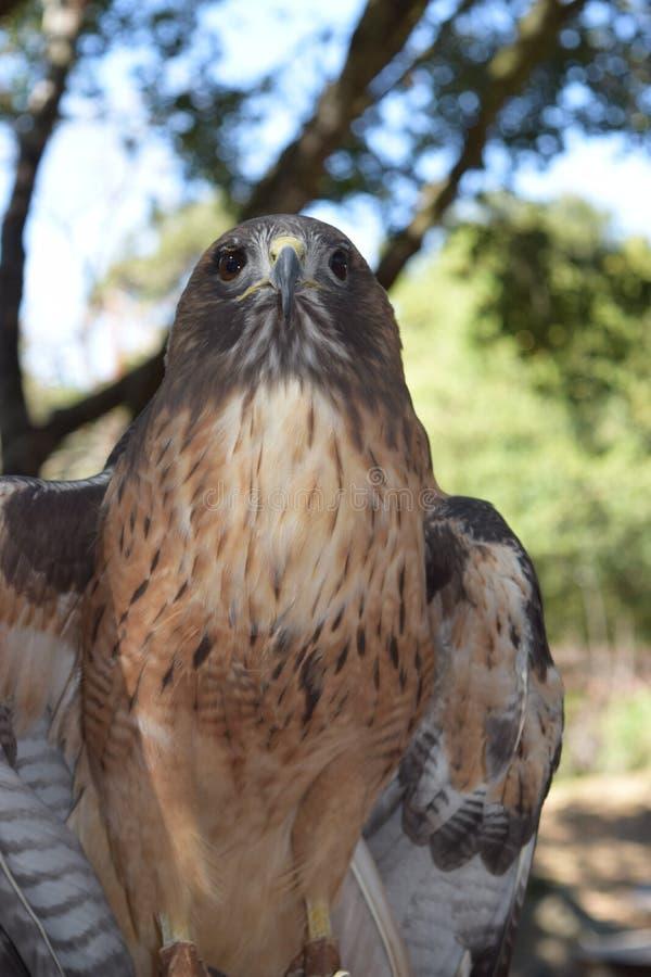 Peregrine Falcon Straight Shot imagem de stock royalty free