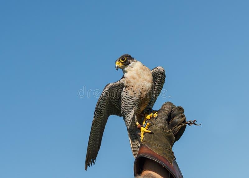 Peregrine Falcon sur le gant de fauconnerie photographie stock libre de droits