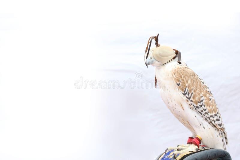 Peregrine Falcon treinada bonita com máscara no fundo branco, DUBAI-UAE 21 DE JULHO DE 2017 imagens de stock royalty free