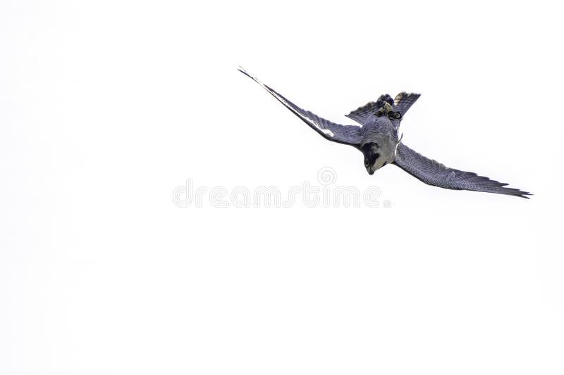 Peregrine falcon upside down hunting stoop stock photos
