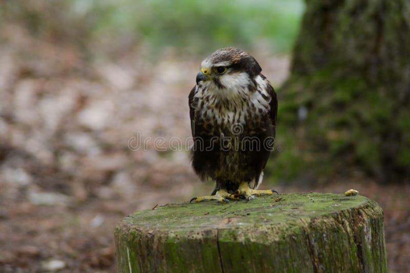 Peregrine Falcon Waiting stockbild