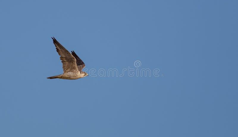 Peregrine Falcon - Wanderfalke - Falco peregrinus arkivbilder