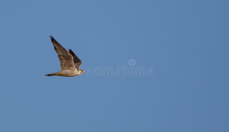 Peregrine Falcon - Wanderfalke - Falco peregrinus. Flying over the dunes at Curonian spit, Lithuania stock images
