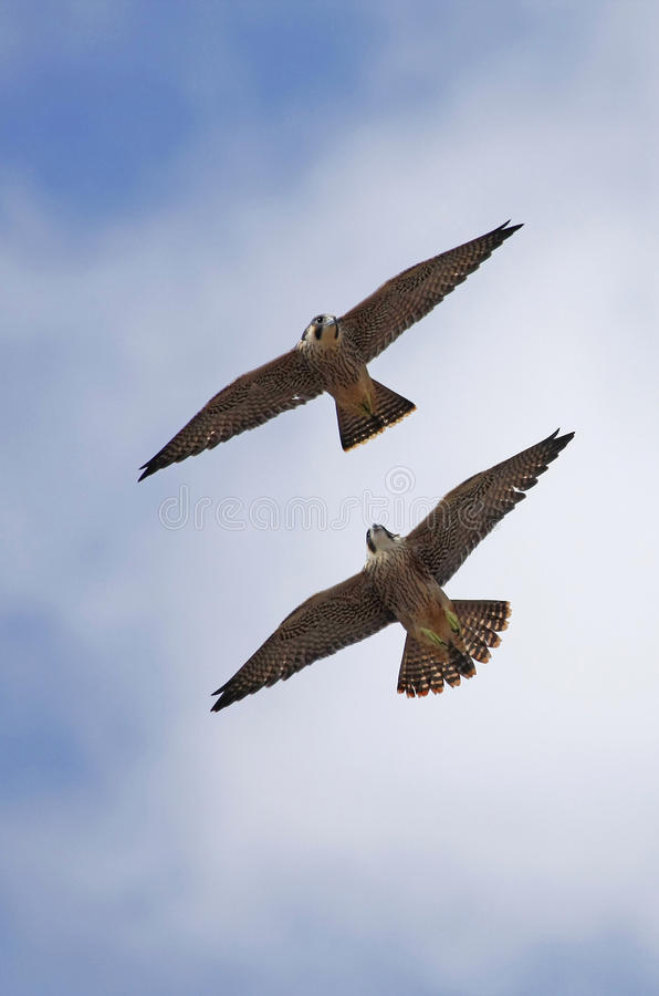Peregrine falcons riding the thermals stock photo
