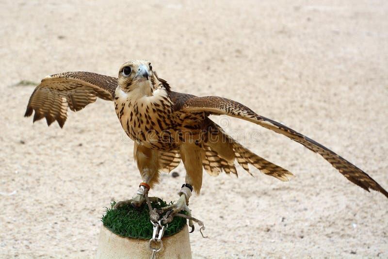 Peregrine falk, Doha, Qatar royaltyfri bild
