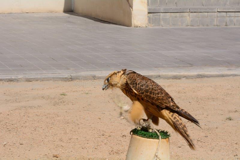 Peregrine falk, Doha, Qatar arkivfoton