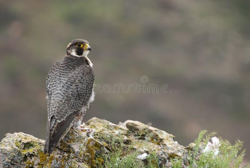 Peregrine falk, fågel av rovet, manlig stående, Falco peregrinus arkivfoto